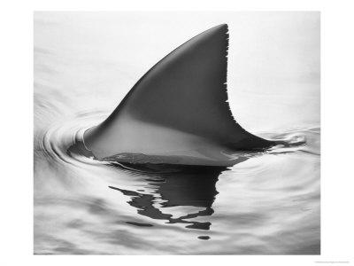 sharkfin1